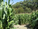 Arthurs Seat / The Enchanted Maze Garden, Purves Road / Maize Maze