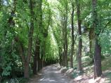 Daylesford / Wombat Hill and Botanical Gardens / Tree-lined road through botanical gardens