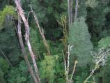 Lavers Hill / Otway Fly tree top walk, Phillips Track, Beech Forest / View to ferns below