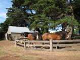 Newhaven / Churchill Island / Clydesdale horses at the stable