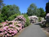 Olinda / National Rhododendron Gardens / Azaleas and rhododendrons along path near Dogwood Lawn