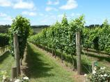 Red Hill / Montalto Vineyard, Shoreham Road / View of vines from car park