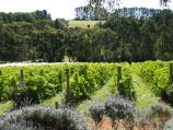 Red Hill / Vines of Red Hill, Red Hill Road / Grape vines in front of restaurant