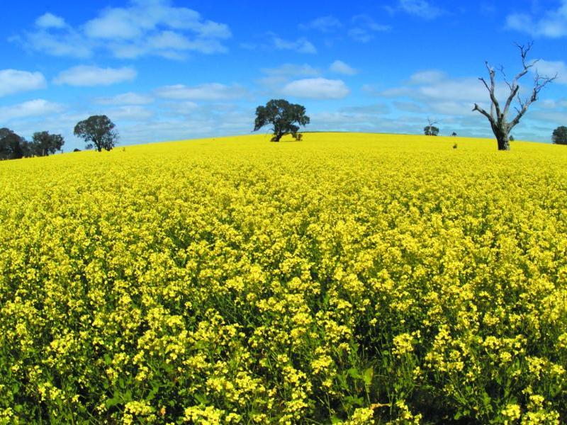 Grampians National Park - Canola fields