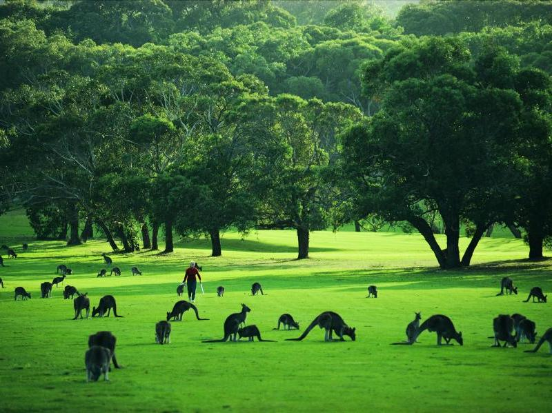 Great Ocean Road coast - Kangaroos grazing on Anglesea Golf Course