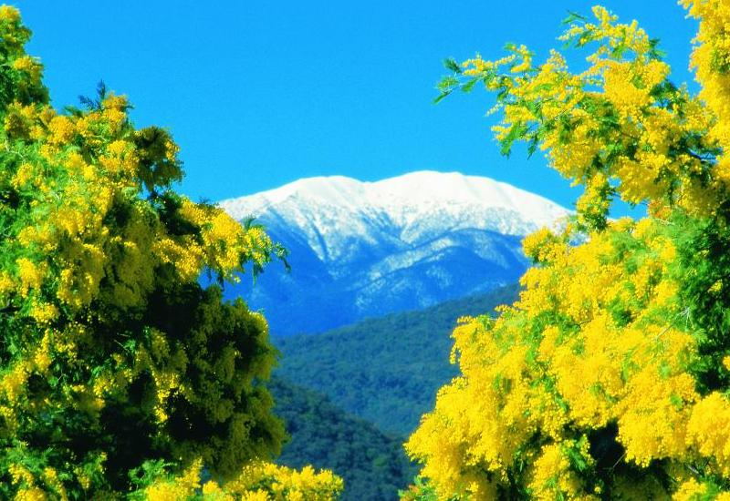 Alpine Region - View of Mount Feathertop surrounded by wattle