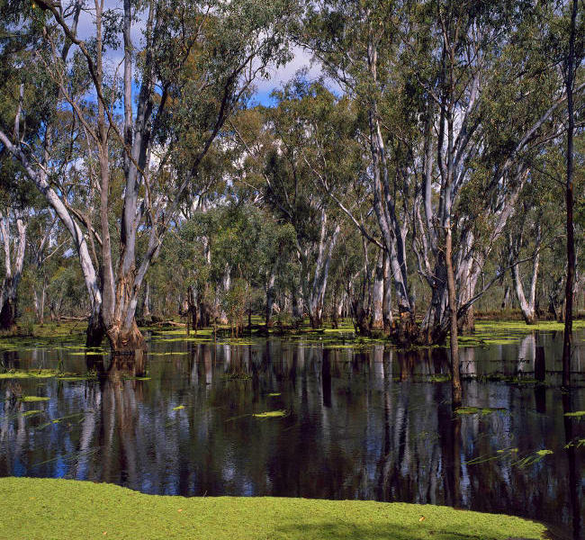 Murray River - Barmah State Forest