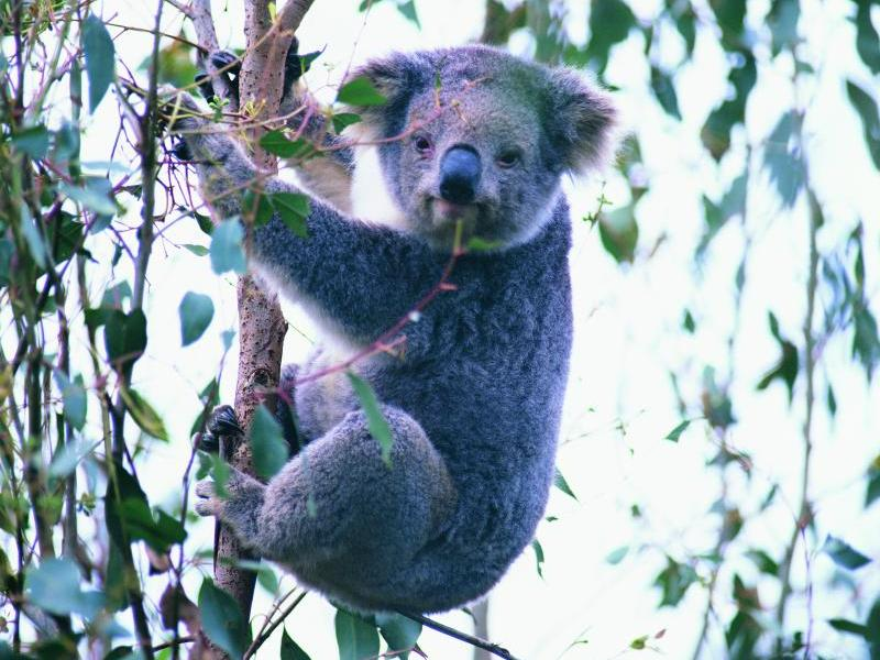 Phillip Island highlights - Koala at conservation centre