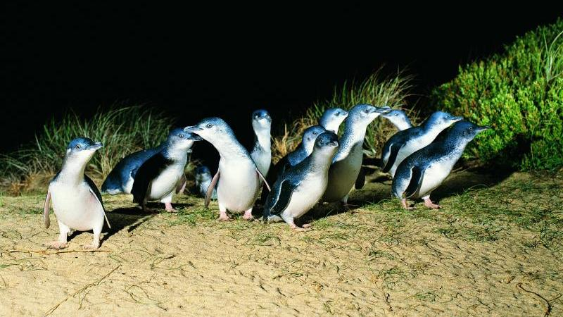 Phillip Island highlights - Penguin Parade