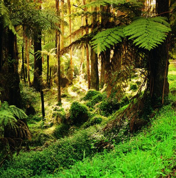 The Dandenongs - Sherbrooke Forest