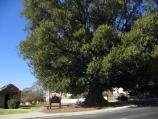 Rutherglen / Around Rutherglen / Historic Moreton Bay fig tree, planted in 1877, corner High St and Murray St