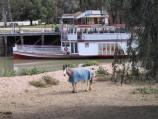 Swan Hill / Pioneer Settlement / View from Pental Island (where horses roam) back to wharf