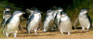Penguin Island Tours