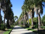 Williamstown / Fearon Reserve and Williamstown Botanic Gardens, Giffard Street / Palm trees, Botanic Gardens